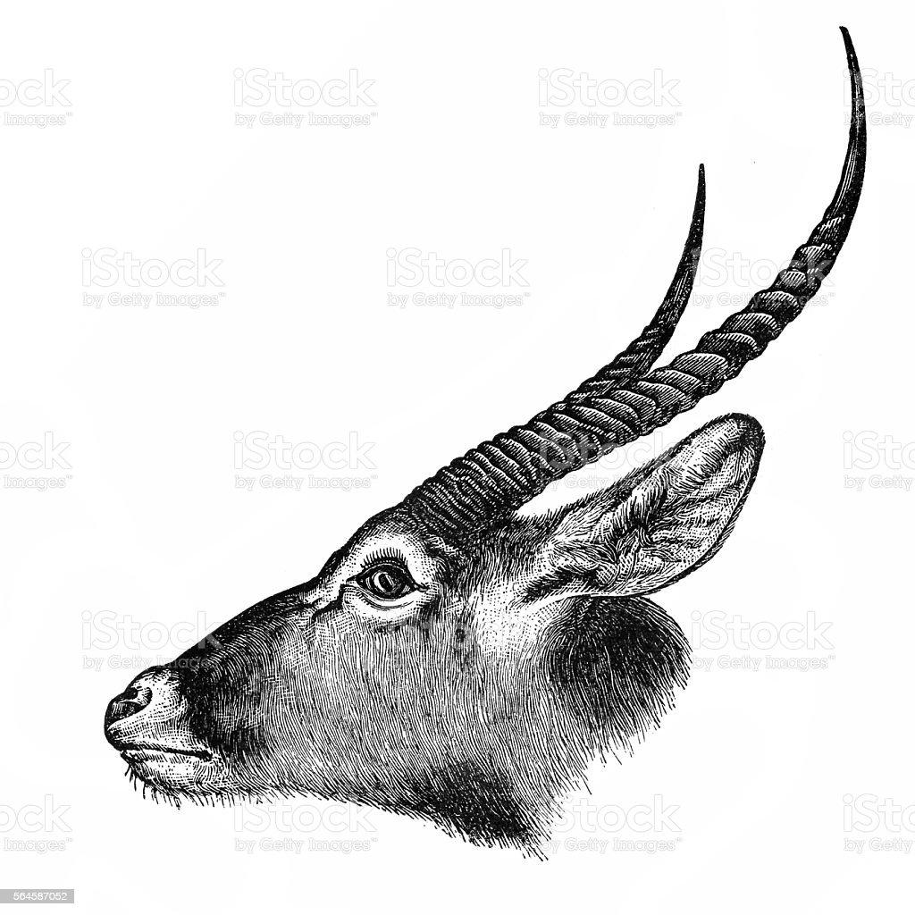 Waterbuck (Kobus ellipsiprymnus) vector art illustration