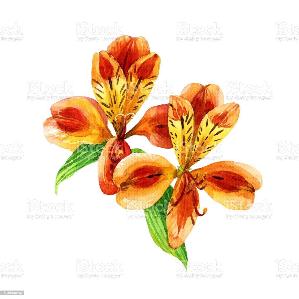 Alstroemeria acuarela aislado sobre fondo blanco. Ilustración botánica. - ilustración de arte vectorial