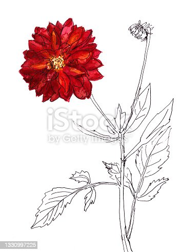istock watercolor and graphic drawing botanical illustration dahlia flowers and branches 1330997225