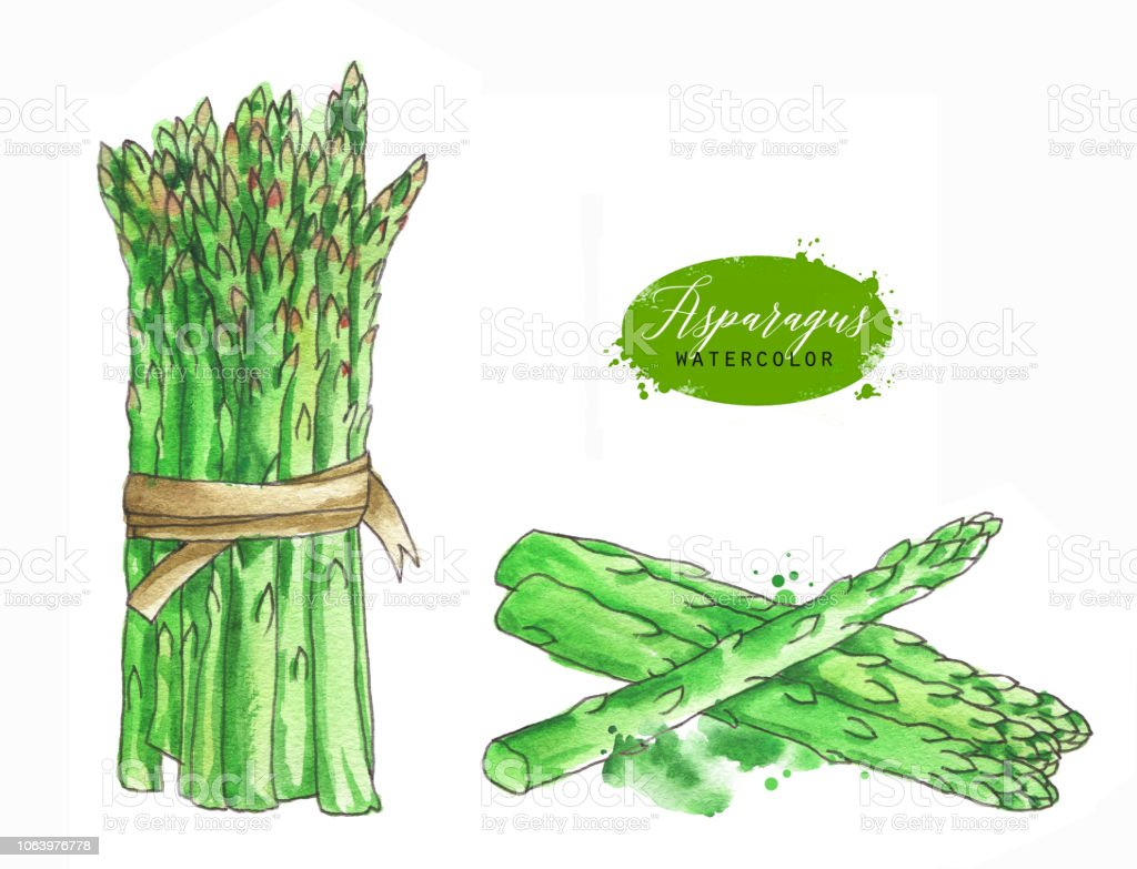 Watercolor And Line Art Fresh Green Asparagus Stems Isolated Eco Food Illustration On White Background Food Clip Art Stock Illustration Download Image Now Istock