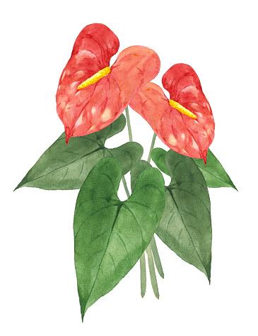 Watercolor Anthurium illustration