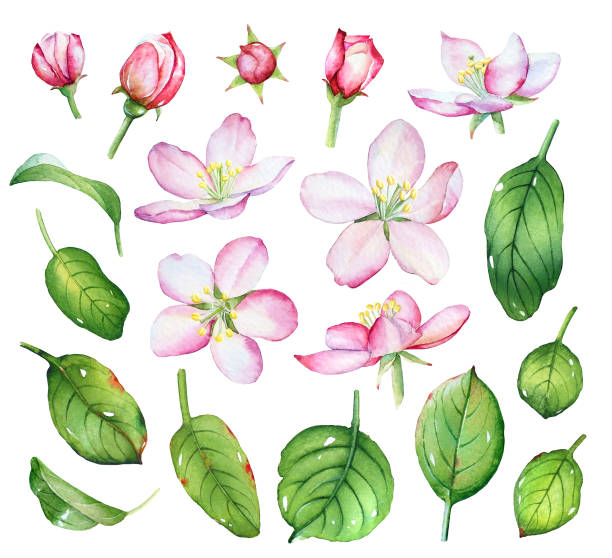 Watercolor apple flowers and green leaves Watercolor set with apple flowers and green leaves on white background. apple blossom stock illustrations