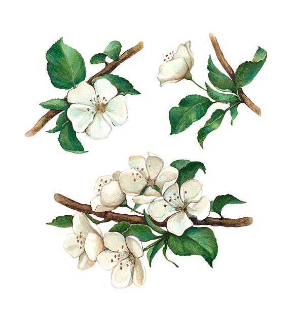 Watercolor apple flowers set Watercolor apple flowers set apple blossom stock illustrations