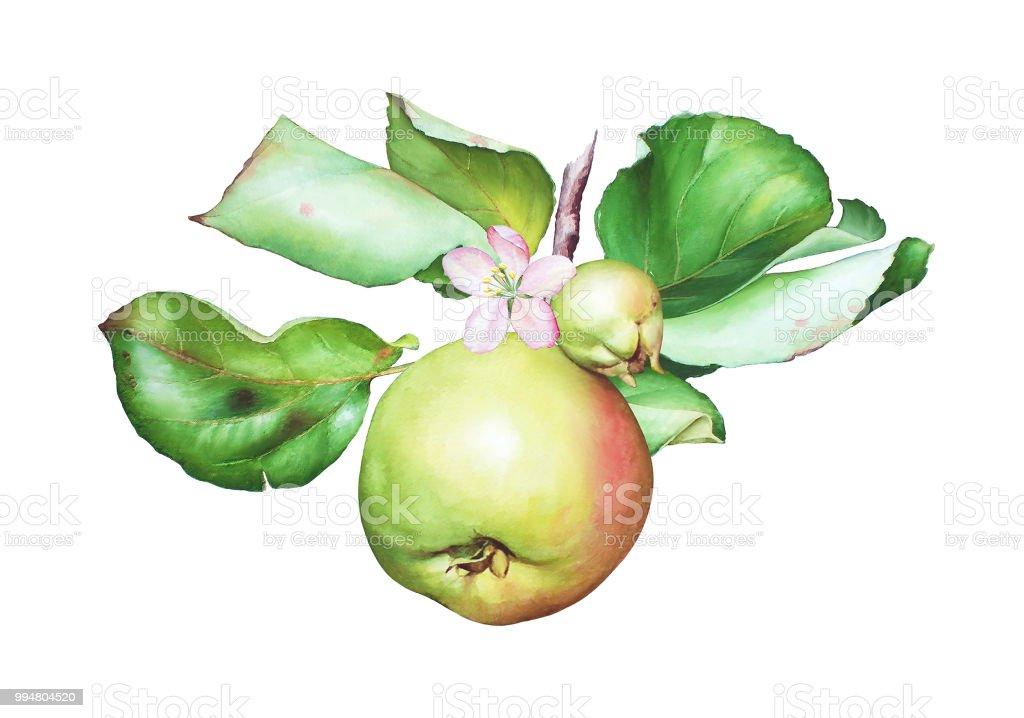 Galho de árvore de maçã aquarela com maçãs e folhas - ilustração de arte em vetor