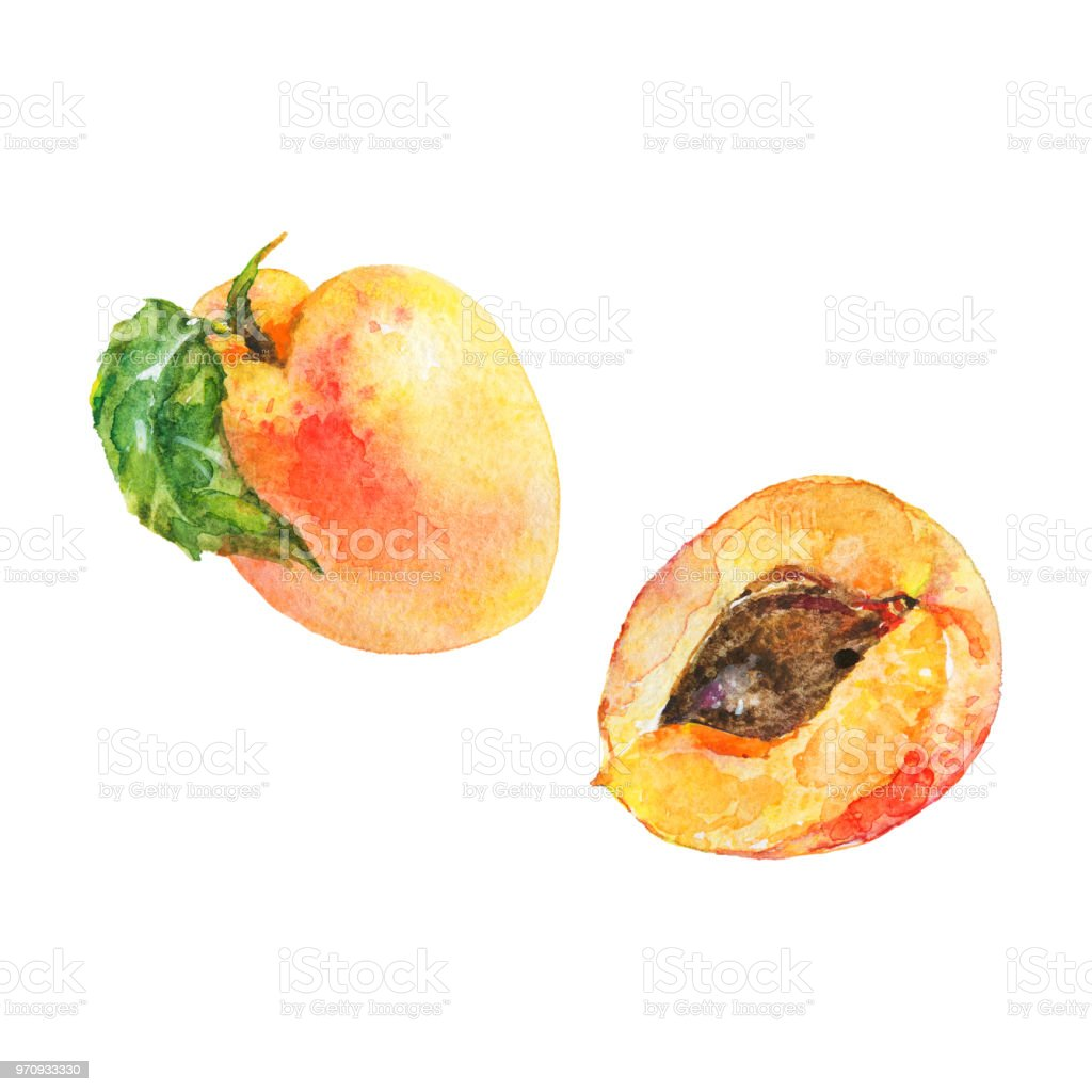 Watercolor Apricot Stock Illustration - Download Image Now