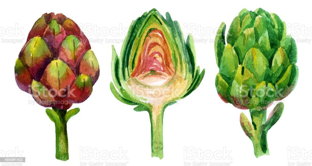 Watercolor artichoke vector art illustration