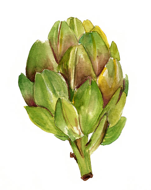 Watercolor artichoke on white background Watercolor artichoke on white background artichoke stock illustrations