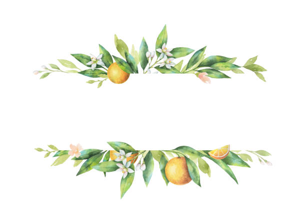 Watercolor banner fruit orange branch isolated on white background. Watercolor banner fruit orange branch isolated on white background. Illustration for design wedding invitations, greeting cards, postcards. Spring or summer flowers with space for your text. citrus fruit stock illustrations