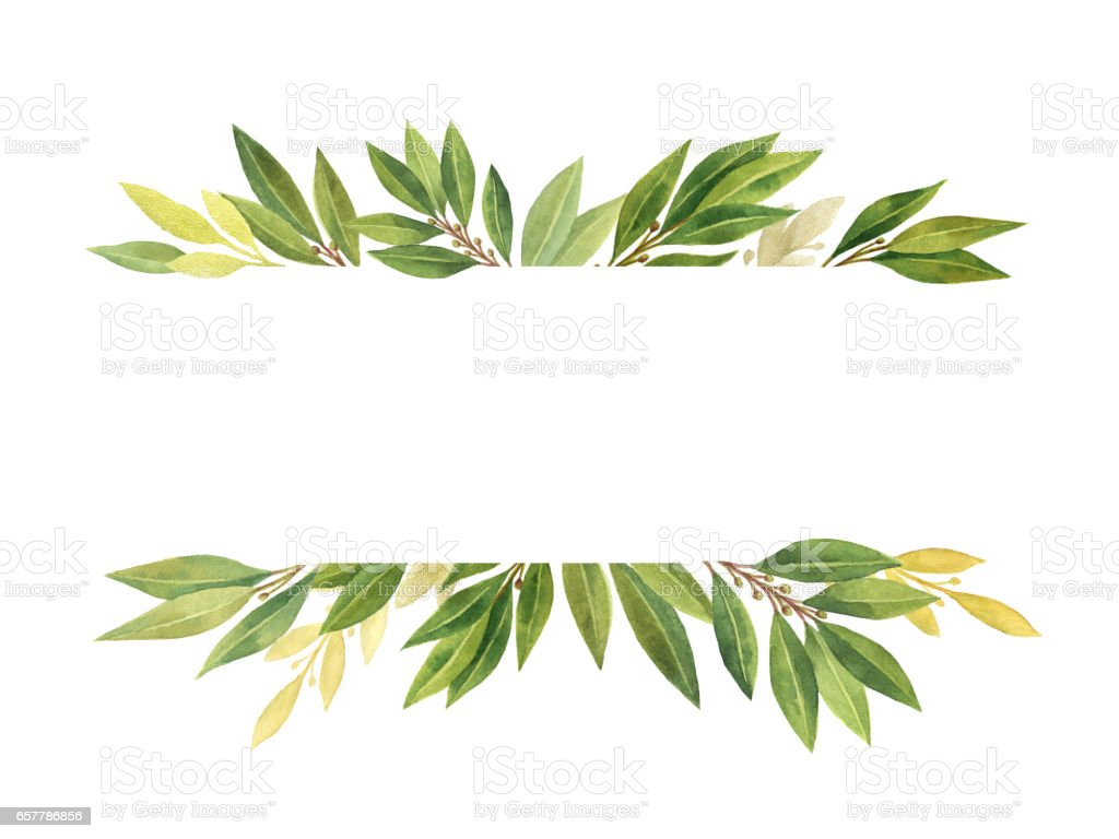 Watercolor Bay leaf isolated on white background. vector art illustration