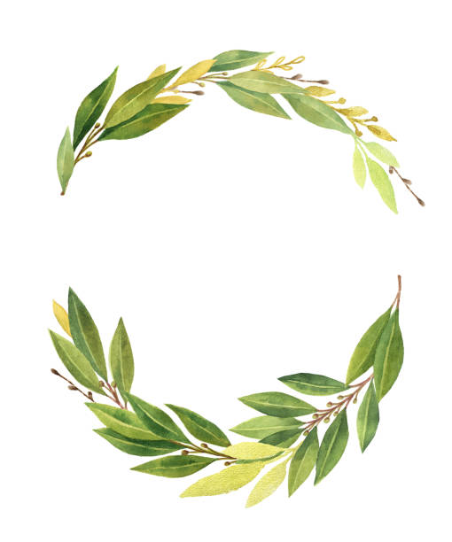 Watercolor Bay Leaf Wreath Isolated On White Background Vector Art Illustration