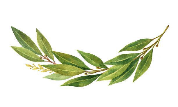 watercolor bay leaf wreath isolated on white background. - laurel leaf stock illustrations, clip art, cartoons, & icons