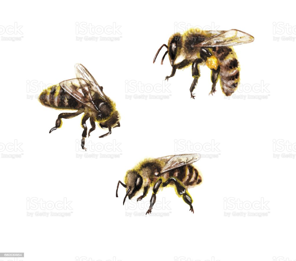 Watercolor Bees on White vector art illustration