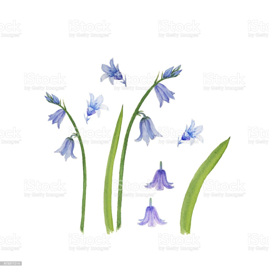 Watercolor bell flowers set isolated on white vector art illustration