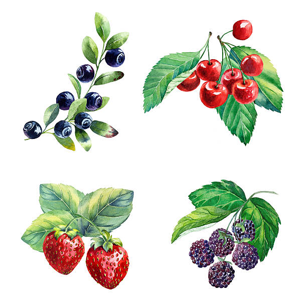 watercolor berries on white background vector art illustration