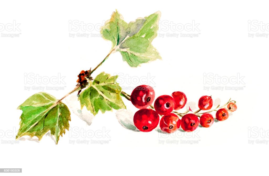 Watercolor berries,red currant vector art illustration