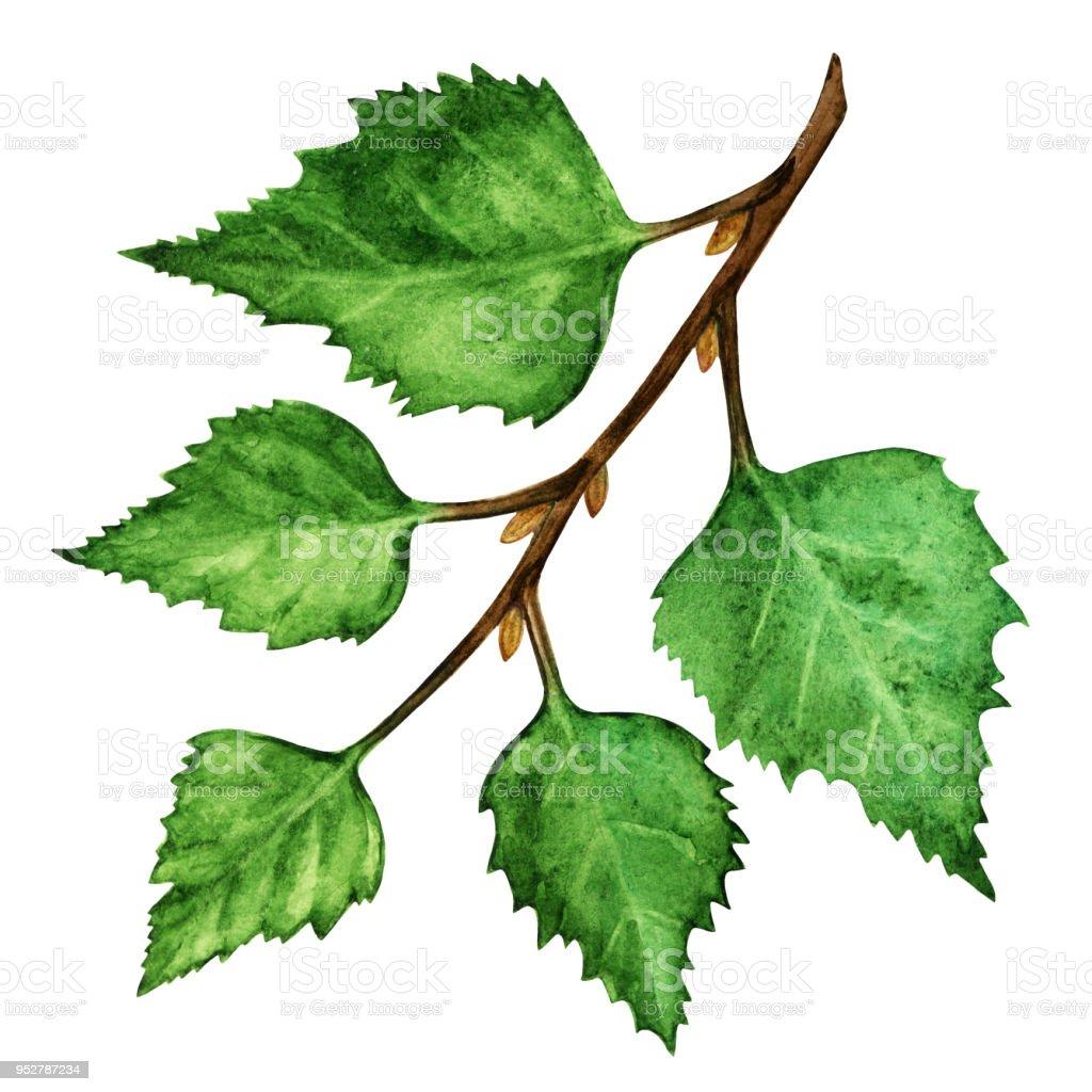 Ilustración de Rama De árbol De Abedul Acuarela Con Hojas Verdes y ...