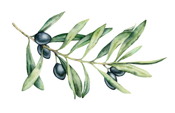 Watercolor black olive branch set. Hand painted floral illustration with olive fruit and tree branches with leaves isolatedon white background. For design, print and fabric. Watercolor black olive branch set. Hand painted floral illustration with olive fruit and tree branches with leaves isolatedon white background. For design, print and fabric olive branch stock illustrations