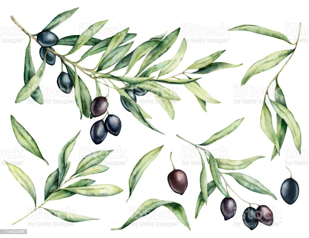 Watercolor black olive, leaves and branch set. Hand painted floral...