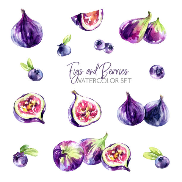 Watercolor borders set with flowers, figs and berries. Original hand drawn illustration in violet shades. Fresh summer design. Fruits ClipArt elements. DIY, scrapbooking collection. Food Watercolor set with figs and berries. Original hand drawn illustration in violet shades. Fresh summer design. Fruits ClipArt elements. DIY, scrapbooking collection. Exotic food. fig stock illustrations