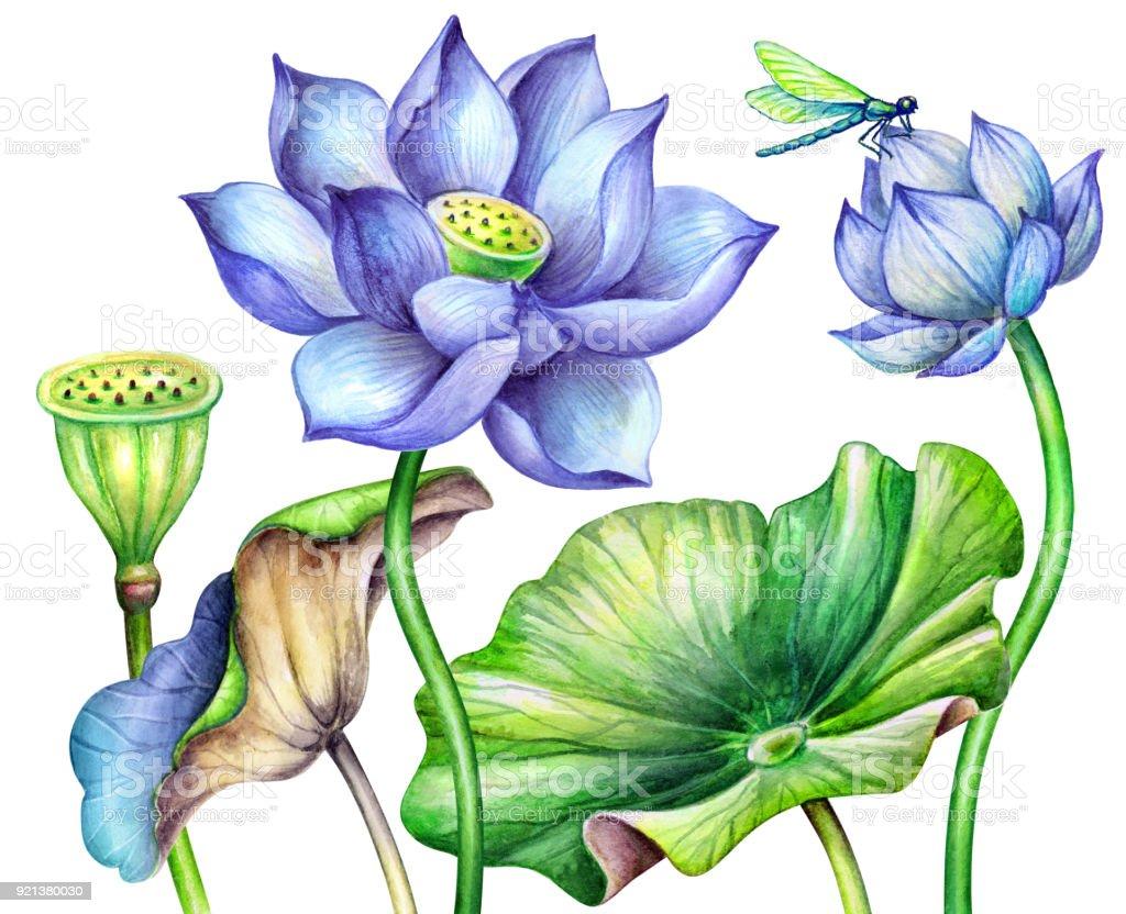 Watercolor Botanical Illustration Blue Lotos Flowers Oriental Garden