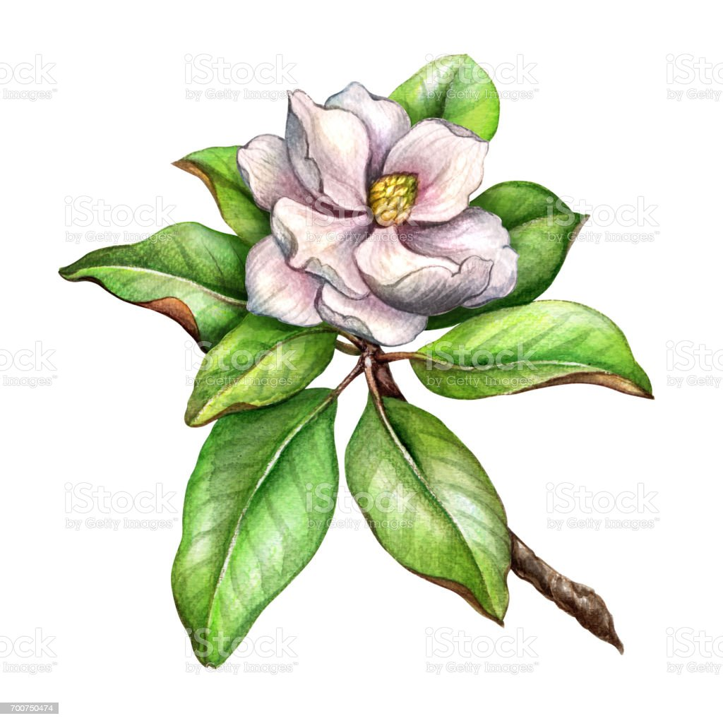 Spring Green Leaves And Flowers Background With Plants: Watercolor Botanical Illustration Delicate Magnolia