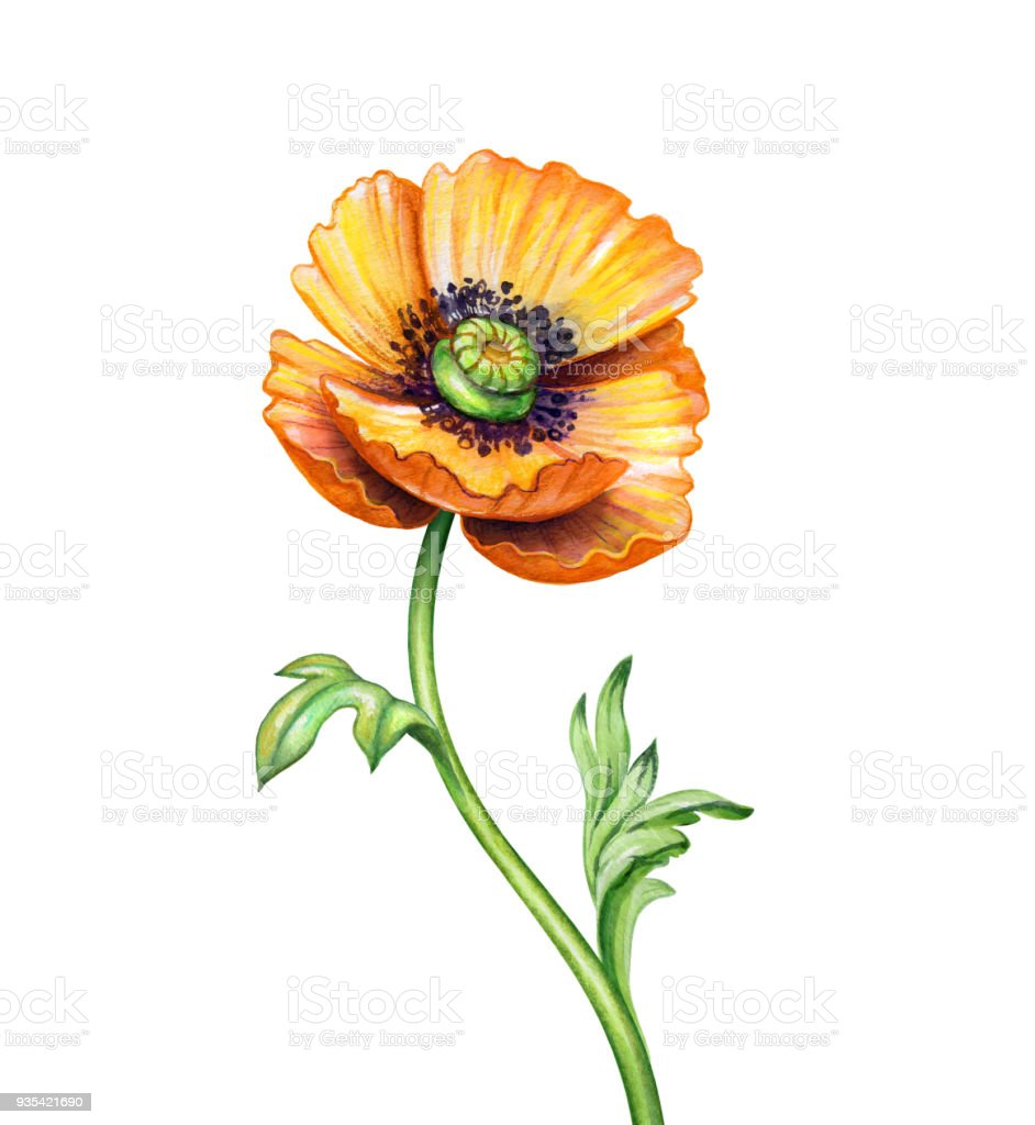 Watercolor Botanical Illustration Orange Poppy Flower Design Element
