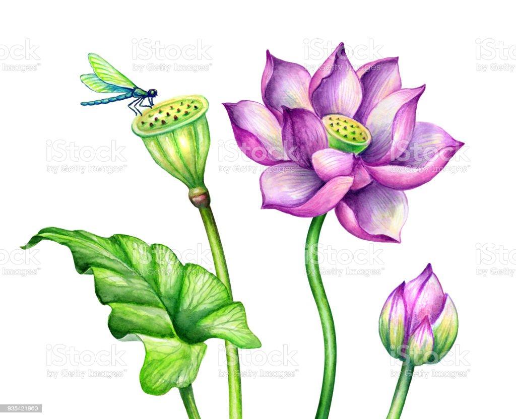 Watercolor botanical illustration pink lotus flowers oriental garden watercolor botanical illustration pink lotus flowers oriental garden nature water lillies green izmirmasajfo