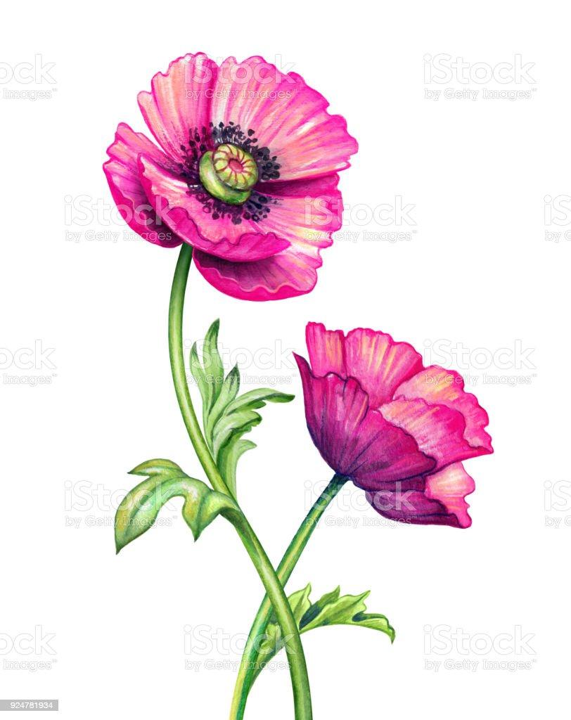 Watercolor Botanical Illustration Poppy Flowers Design Elements