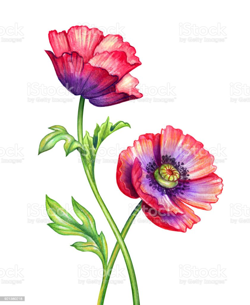 Watercolor Botanical Illustration Poppy Flowers Design Elements