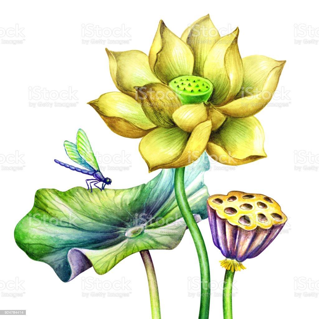 水彩画ボタニカル イラスト黄色 Lotos 花オリエンタル ガーデン自然睡蓮