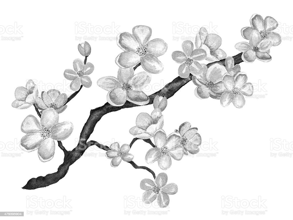 Line Drawing Flower Vector : Watercolor branch blossom sakura cherry tree with flowers stock