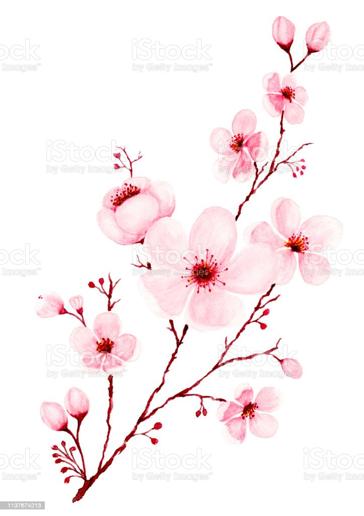 Watercolor Cherry Blossom Branch Hand Painted Stock Illustration Download Image Now Istock