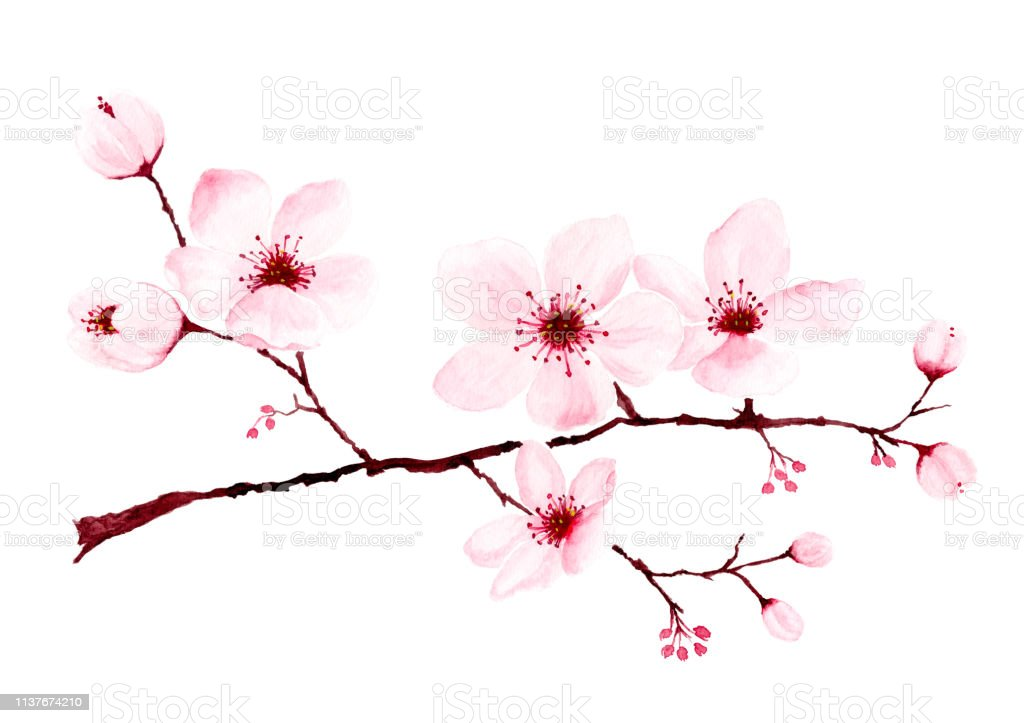Watercolor Cherry Blossom Branches Hand Painted Stock Illustration Download Image Now Istock