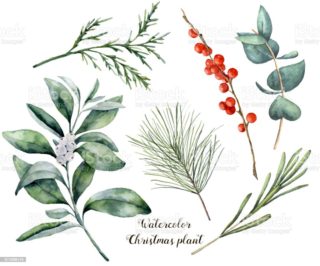 Watercolor Christmas plant and berries. Hand painted rosemary, eucalyptus, cedar, snowberry and fir branches isolated on white background. Floral botanical clip art for design or print. vector art illustration