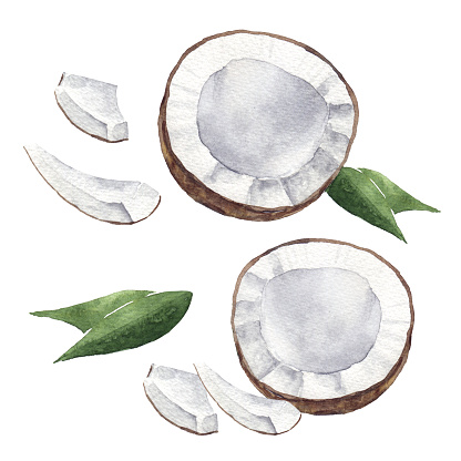 watercolor coconut fruit isolated on white. Hand drawn illustration