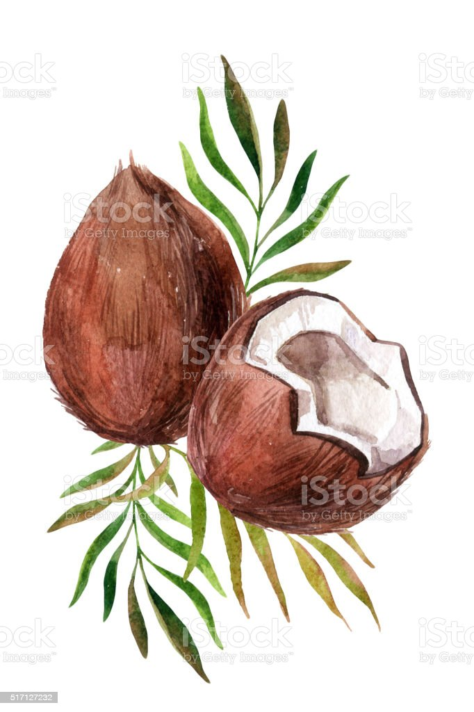 Watercolor coconut on white background vector art illustration