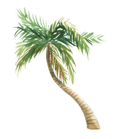 Watercolor coconut tree with leaves
