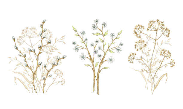 Watercolor collection with bouquet herbarium Set with bouquet dry herbs, willow branches and twigs with flowers isolated on white background. Watercolor hand drawn illustration branch plant part stock illustrations