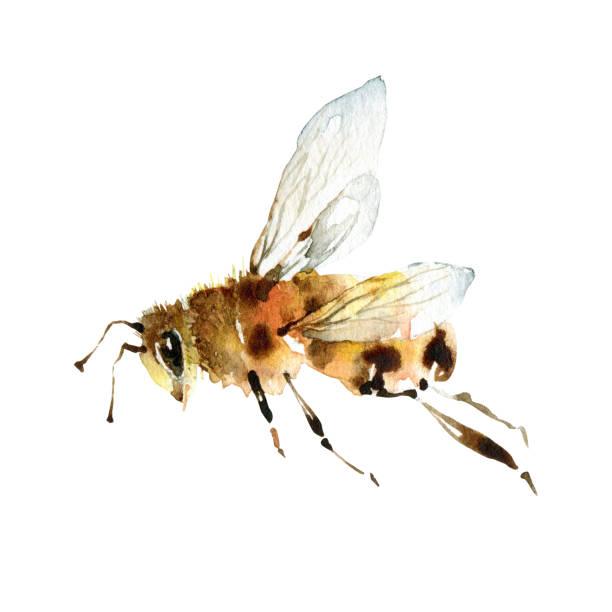 illustrazioni stock, clip art, cartoni animati e icone di tendenza di watercolor cute bee on white background - mika