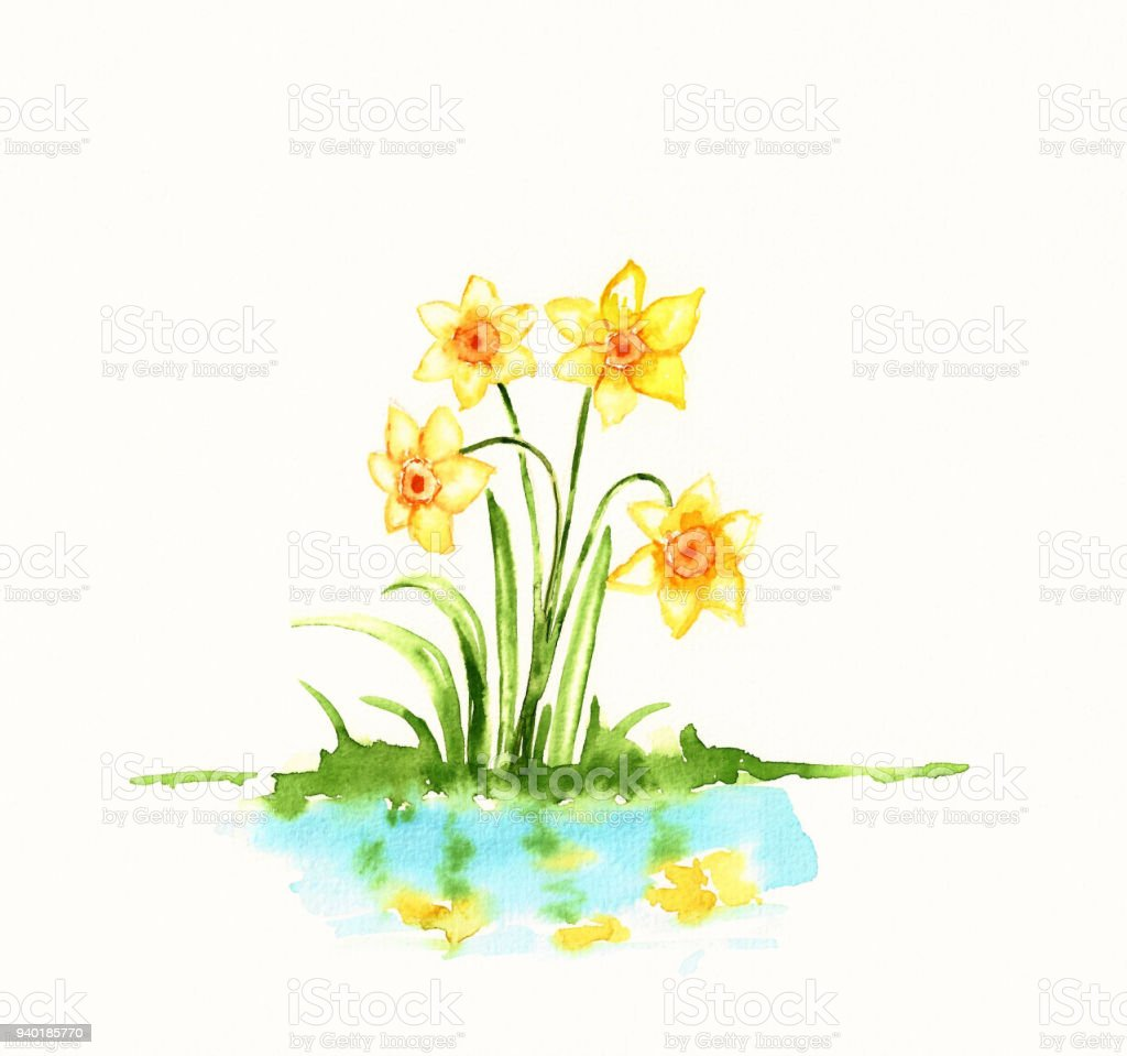 Watercolor Daffodils Painting Spring Flowers Illustration Stock