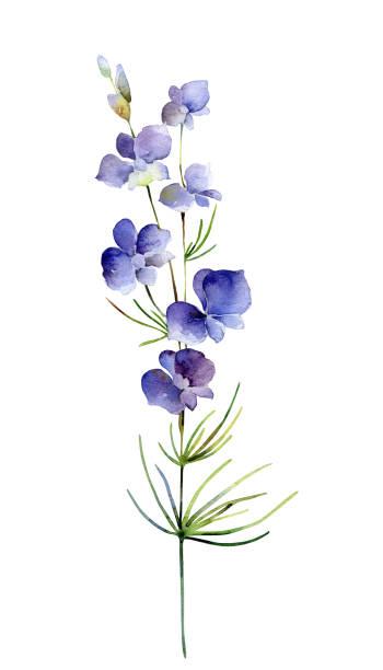 illustrazioni stock, clip art, cartoni animati e icone di tendenza di watercolor delphinium flower on white background - mika