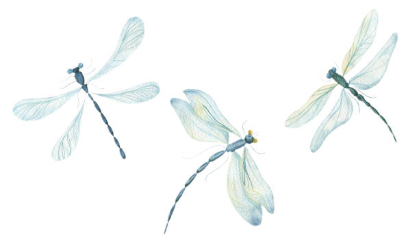 Watercolor dragonflies on a white background vector art illustration