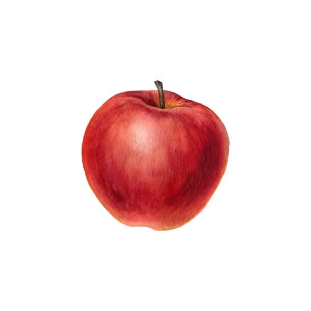 illustrazioni stock, clip art, cartoni animati e icone di tendenza di watercolor drawing apple - mela