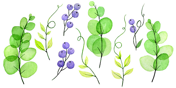 watercolor drawing by hands. set of leaves and branches Vicia cracca, green transparent leaves and purple berries. cute drawing on the theme of summer, bright colors. clipart isolated on white