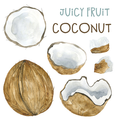Watercolor drawing coconut and pieces of coconut.