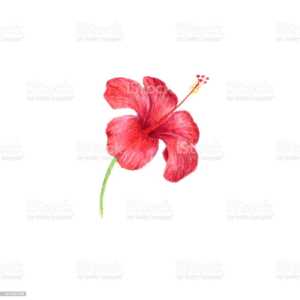 Watercolor Drawing Flower Of Red Hibiscus Stock Vector Art More