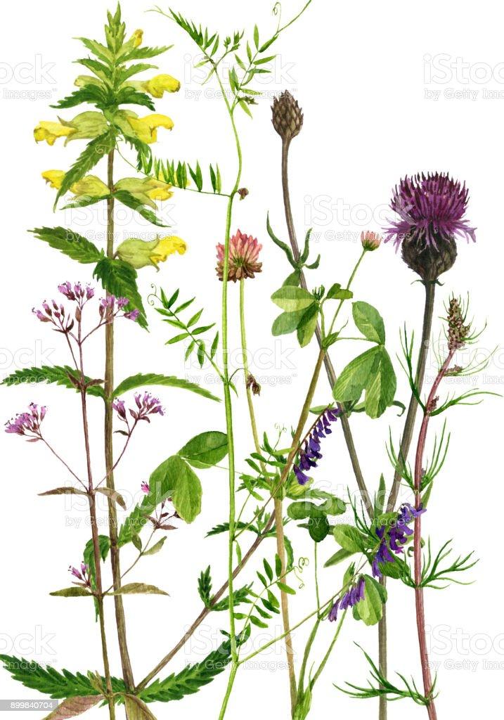 Plantes Et Fleurs Dessin Aquarelles Vecteurs Libres De