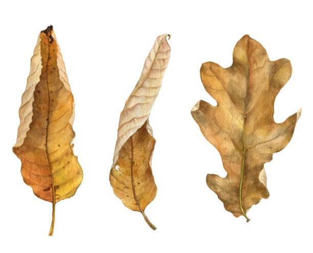 ilustrações de stock, clip art, desenhos animados e ícones de watercolor drawing leaf - planta morta
