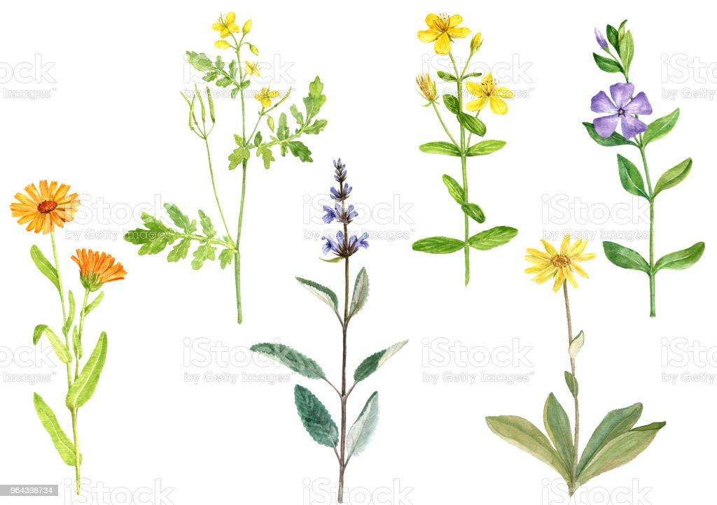 Aquarel tekenen van geneeskrachtige planten - Royalty-free Akkergoudsbloem Stockillustraties
