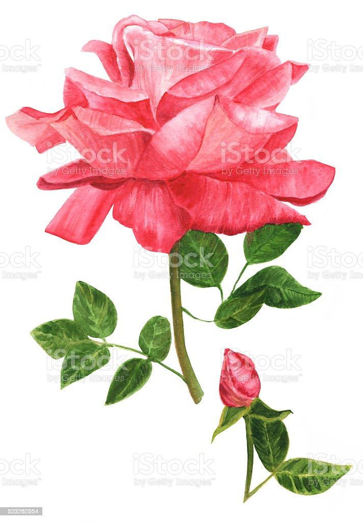 Acquerello Disegno Di Bella Rosa Rosa Stile Vintage Immagini